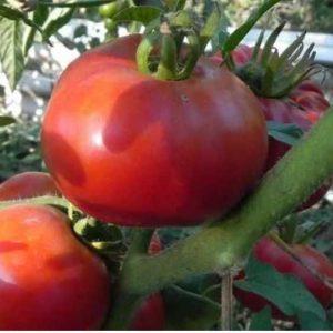 томаты сент пьер