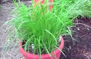 чуфа выращивание
