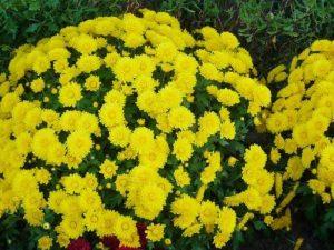 Саженцы Хризантемы корейской желтой