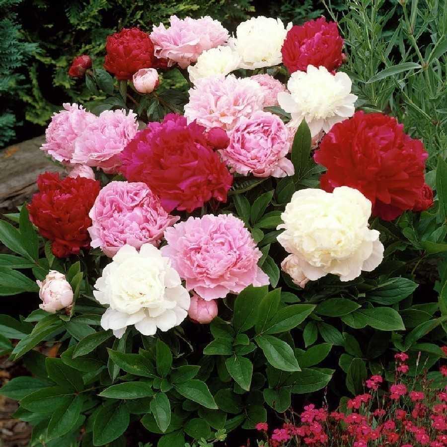 Где купить цветы пионы для посадки спб