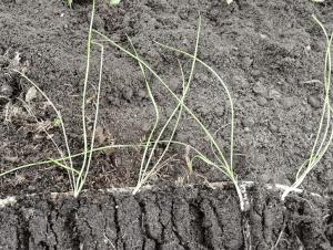семена шнитт лука