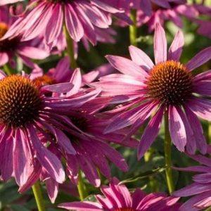 Семена эхинацеи пурпурной - купить, выращивание, посев, советы