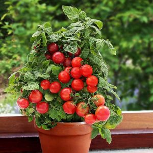 Томат Балконный Чудо Красный. Купить Семена, Рассаду с доставкой.
