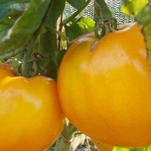 Томат Бычье Сердце Оранжевое. Купить Семена, Рассаду с Доставкой.