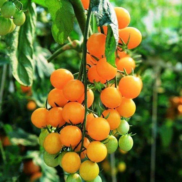 Томат Оранжевый Виноград. Купить Семена, Рассаду с доставкой.