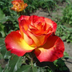 Роза Высший Свет High Society. Купить Саженцы с Доставкой в СПБ. Отправка по РФ почтой и ТК