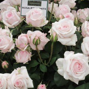 Роза Бельмонт Belmonte. Купить Саженцй с Доставкой в СПБ. Отправка по РФ почтой и ТК