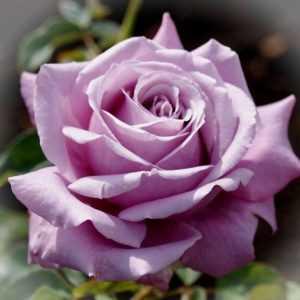Роза Блю Парфюм Blue Parfum. Купить Саженцы с Доставкой в СПБ. Отправка по РФ почтой и ТК