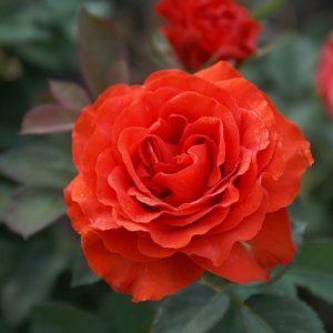 Роза Эль Торо El Toro. Купить Саженцы с Доставкой в СПБ. Отправка по РФ почтой и ТК
