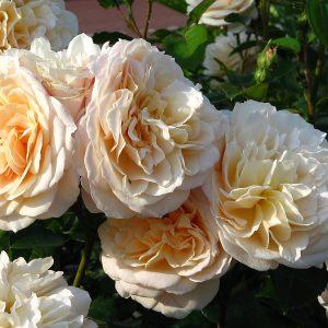 Роза Инглиш Гарден English Garden. Купить Саженцы с Доставкой в СПБ. Отправка по РФ почтой и ТК