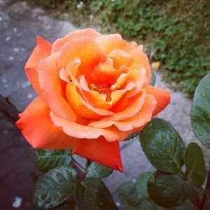 Роза Луи де Фюнес Louis de Funes. Купить Саженцы с Доставкой в СПБ. Отправка по РФ почтой и ТК