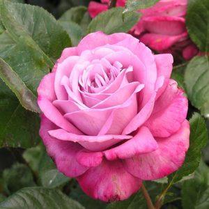 Роза Моди Блю Moody Blue. Купить Саженцы с Доставкой в СПБ. Отправка по РФ почтой и ТК