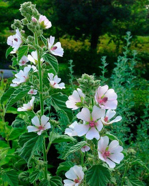 Алтей Лекарственный Althaea. Купить Семена с Доставкой. Отправка по РФ