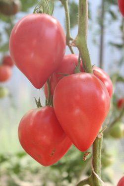 семена армерии купить в спб