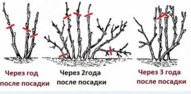 Крыжовник Командор Владил