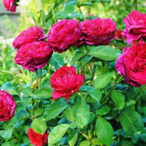 Роза 4-х Ветров Rose des 4 Vents. Купить Саженцы с Доставкой в СПБ. Отправка по РФ почтой и ТК
