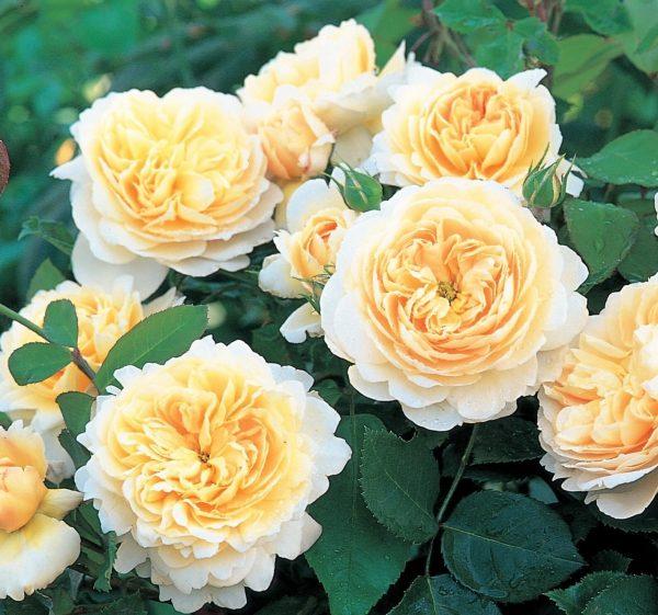 Роза Крокус Роуз Crocus Rose. Купить Саженцы с Доставкой в СПБ. Отправка по РФ почтой и ТК