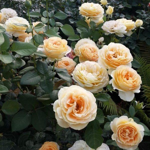 Роза Кэндллайт Candlelight. Купить Саженцы с Доставкой в СПБ. Отправка по РФ почтой и ТК