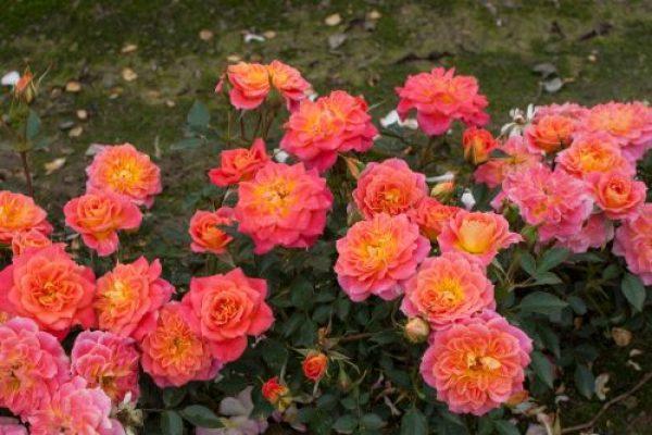 Роза Мандарин Mandarin. Купить Саженцы с Доставкой в СПБ. Отправка по РФ почтой и ТК