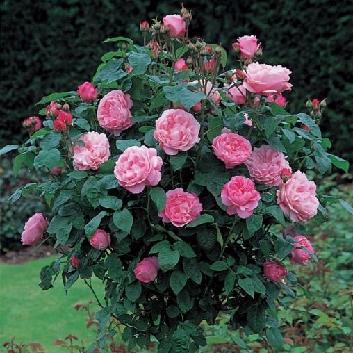 Роза Мэри Роуз Mary Rose. Купить Саженцы с Доставкой в СПБ. Отправка по РФ почтой и ТК