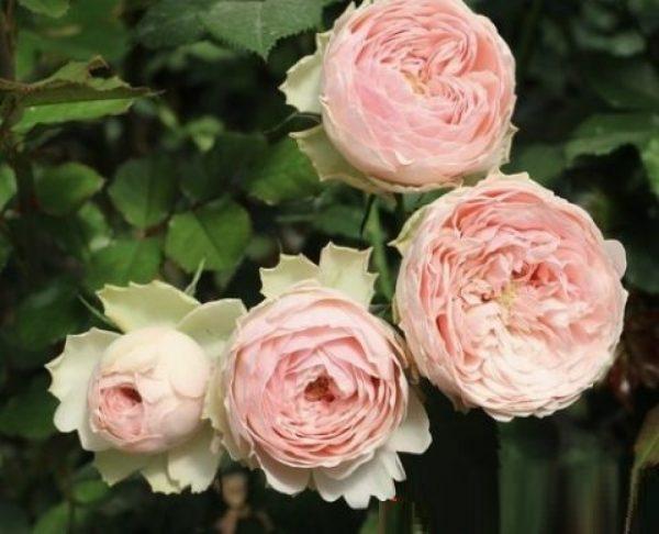 Роза Мэнсфилд Парк Mansfield Park. Купить Саженцы с Доставкой в СПБ. Отправка по РФ почтой и ТК