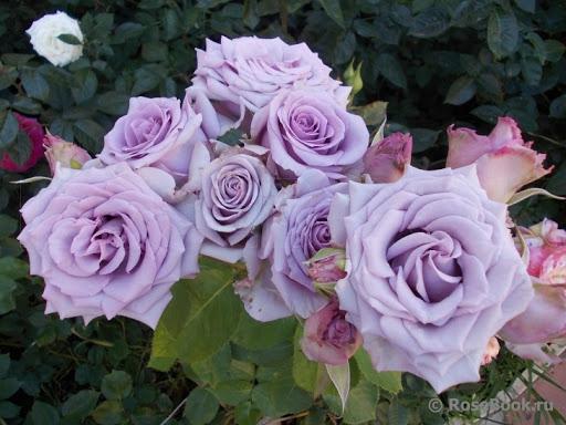 Роза Оушен Сонг Ocean Song. Купить Саженцы с Доставкой в СПБ. Отправка по РФ почтой и ТК