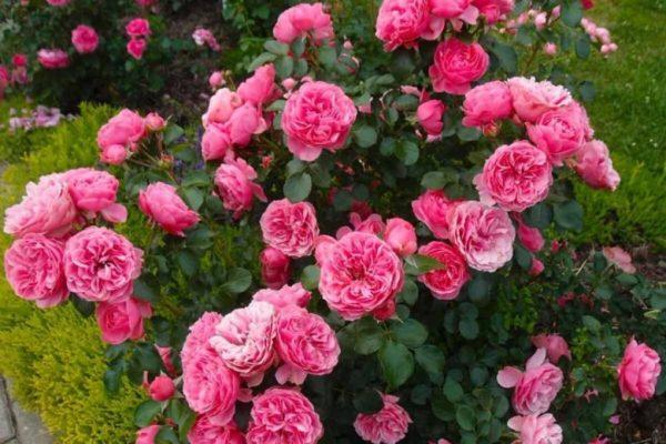 Роза Пинк Пиано Pink Piano. Купить Саженцы с Доставкой в СПБ. Отправка по РФ почтой и ТК