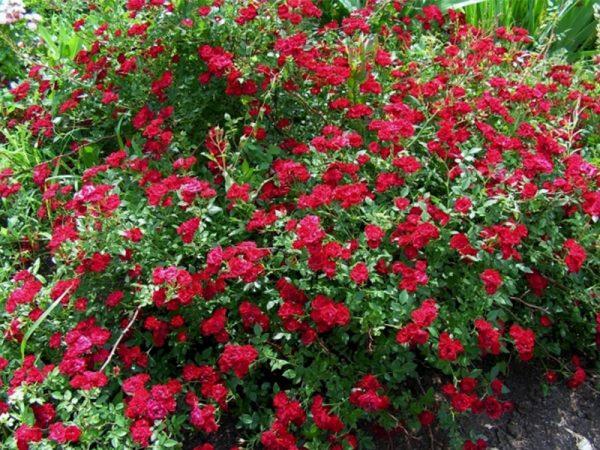 Роза Рэд Каскад Red Cascade. Купить Саженцы с Доставкой в СПБ. Отправка по РФ почтой и ТК