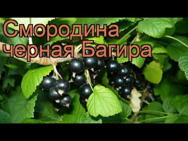 Смородина Багира. Купить Саженцы с Доставкой в СПБ. Отправка по РФ почтой и ТК.