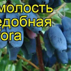 Жимолость Амфора. Купить Саженцы с Доставкой в СПБ. Отправка по РФ почтой и ТК